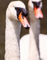 Mute Swan (Portrait)