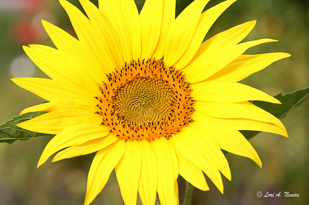 Mini Sunflower 2