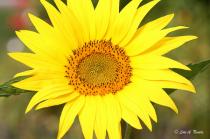Mini Sunflower 2