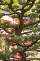 gnarled tree and torii