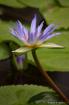 Lily In Fiji
