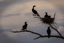 Cormorants in Silouette