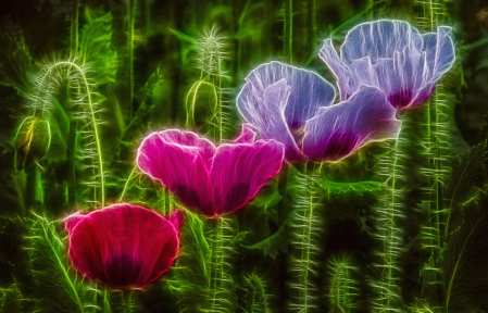 A Line of Poppies