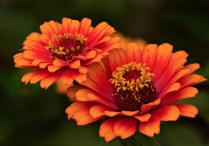 Two Orange Zinnia