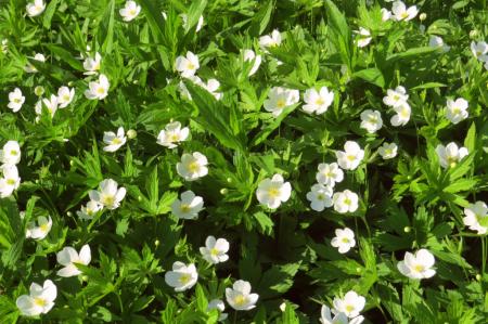 Pretty White Wildflowers