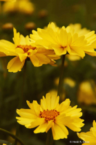 Yellow Spot of Sunshine