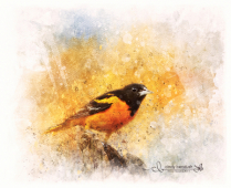 Painted Oriole