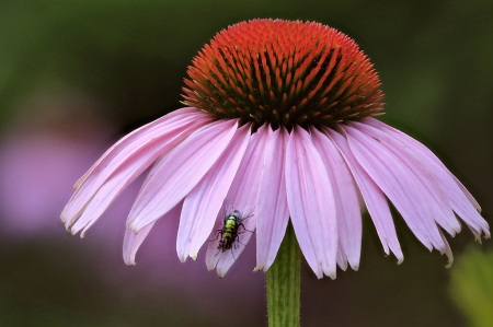 Cone Flower and Bug