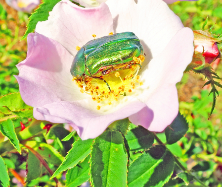 The beetle on the rose.