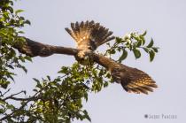 Red Shouldered Hawk Flight