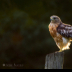 2Red Shouldered Hawk - ID: 15831081 © Jacquie Palazzolo