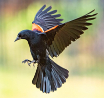 Redwing Blackbird on the prowl.