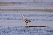 Blue Heron on the Water