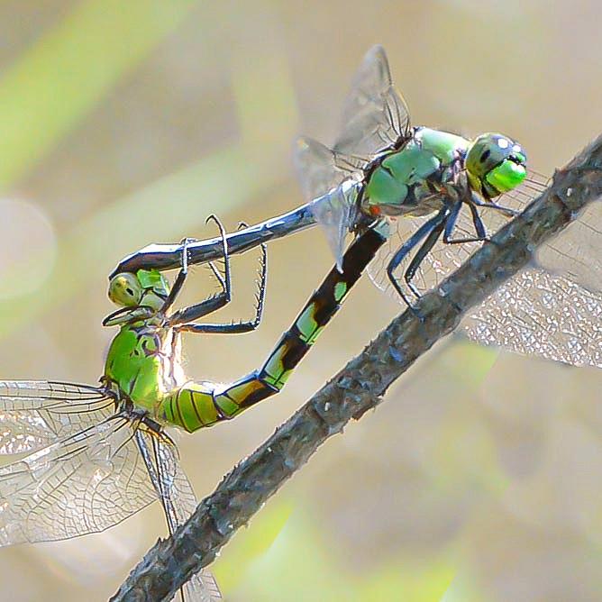 Dragonflies Having Way too much Fun