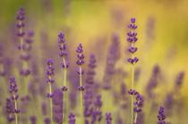 Sunrise Lavender