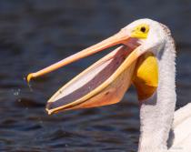 American White Pelican Portrait