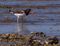 Oystercatcher Hunting for Food