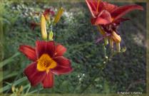Crimson Day Lilies