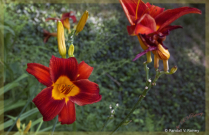 Crimson Day Lilies 2