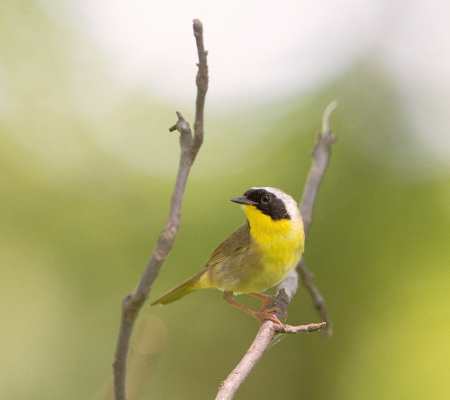 The Common Yellow Throat