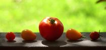 My Little Tomato Family