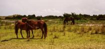 Wild Horses of Shackleford Banks