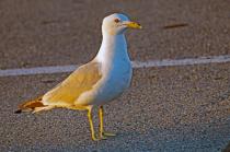 Herring Gull @ Sunrise