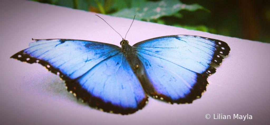 Blue Morpho Butterfly, Botanical Garden, Montreal - ID: 15831954 © Nada Mayla