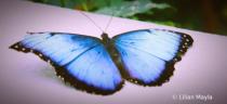 Blue Morpho Butterfly, Botanical Garden, Montreal
