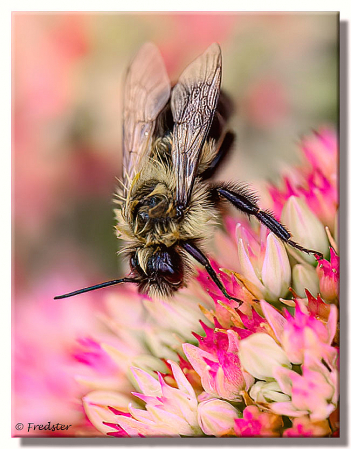 A Bee Having One Real Bad Hair Day
