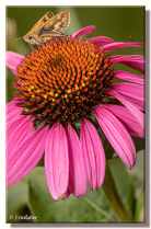 Cone Flower With Skipper Butterfly