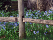 Bluebell Fenceline