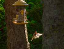 House Finch in flight