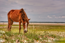 Wild Mustang of Shackleford Banks