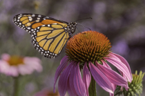 Monarch  9471