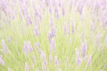 Lavender Dreams  9358