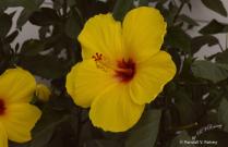 Yellow Flowers on the Boardwalk...