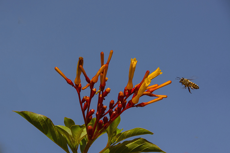 The Bee and the Firebush