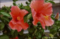 Double Big Blooms