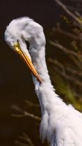 Great Egret (Preening)