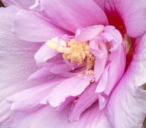 Lavender Hibiscus