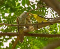 Hungry Cuckoo