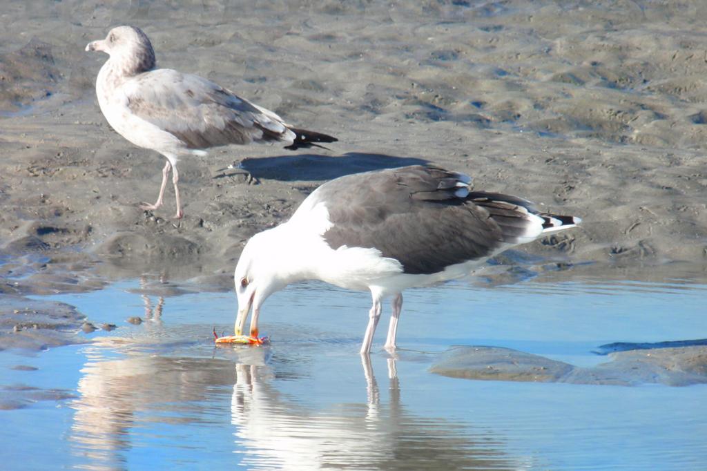 Two Seagulls Crabbing