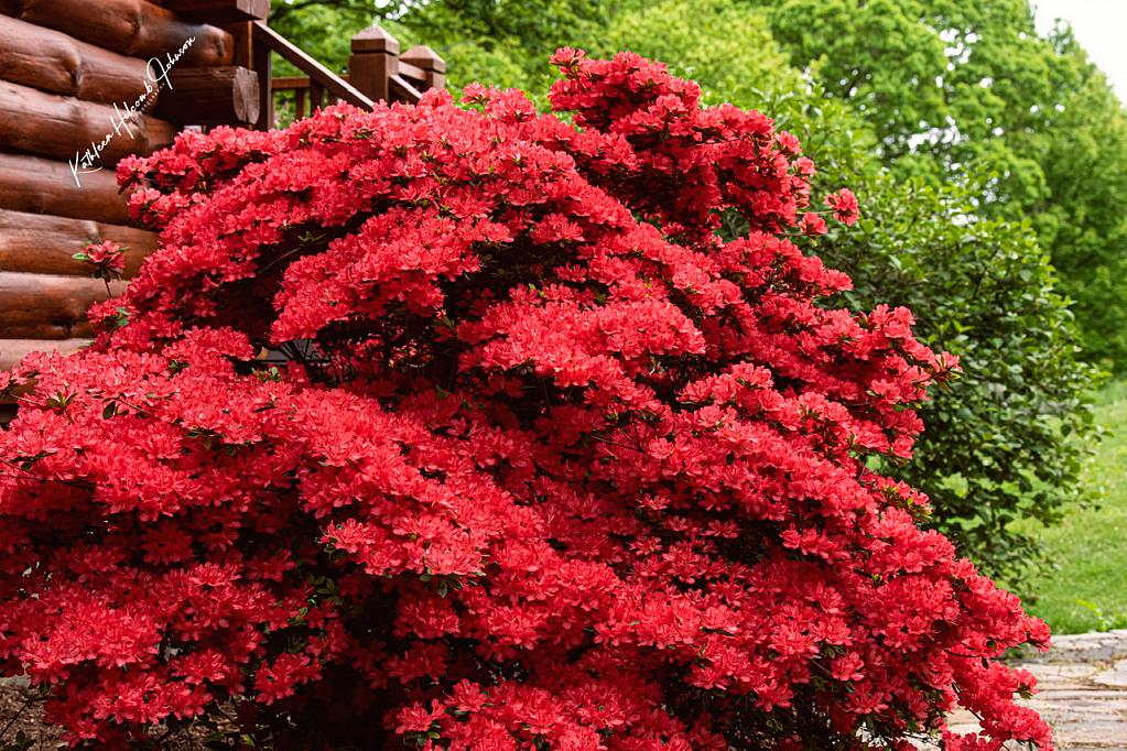 Beautiful Azalea! - ID: 15834245 © Kathleen Holcomb Johnson