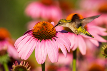 Ruby throated hummingbird and coneflowers