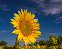 Sunflower Field Highlight