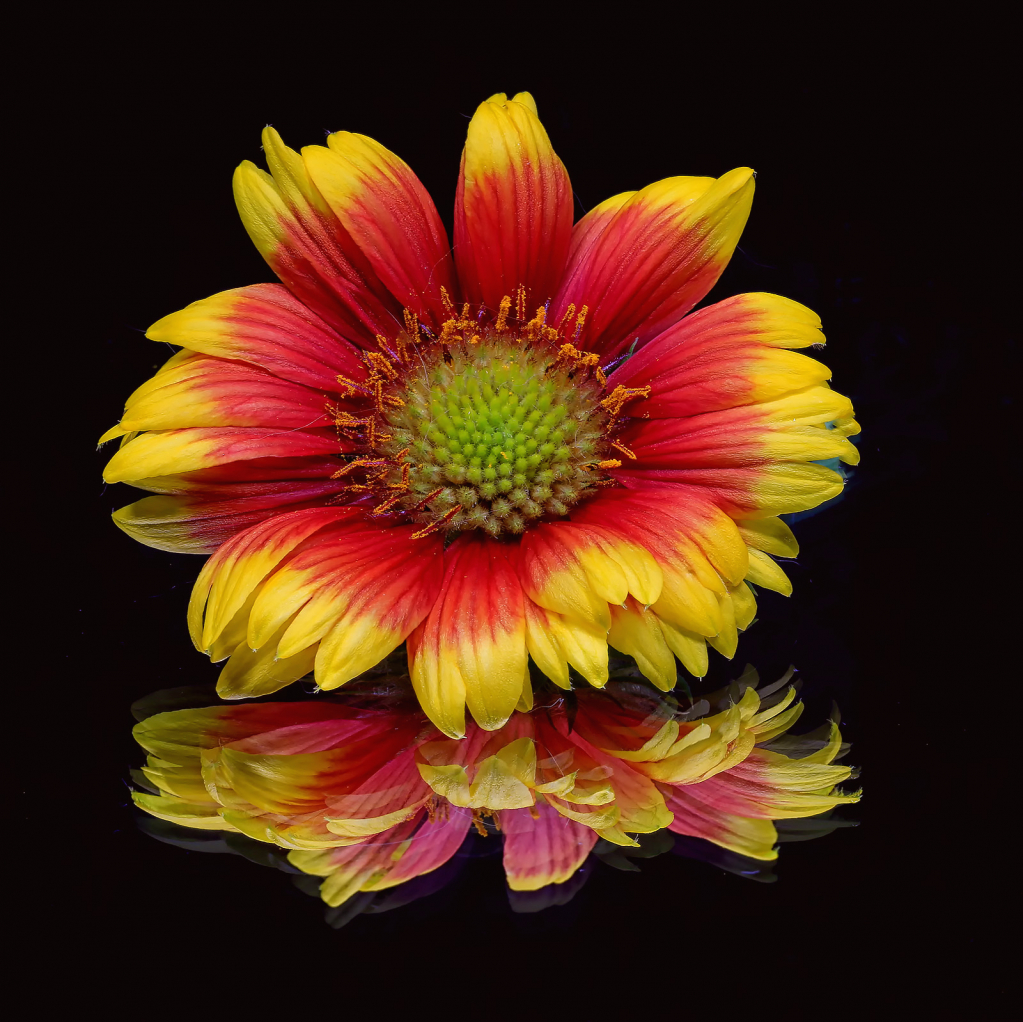 Indian Blanket Reflection