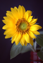 A day in the life of a Sunflower