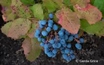 Blue Berries with Reddening Leaves in July