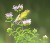 Goldfinch in the Wildflowers